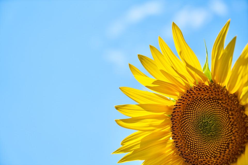 Lillesands lengste solsikke?